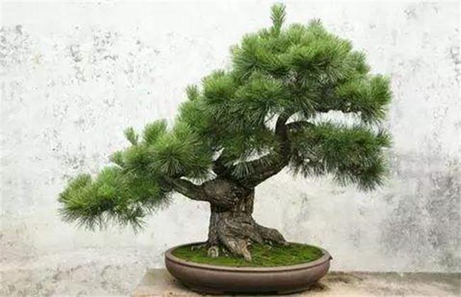 蓬莱松盆栽的养殖方法图片