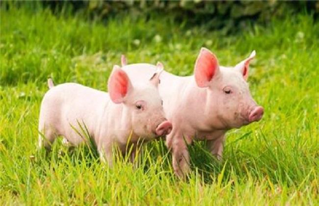 猪得了蛔虫病的病状和防治措施