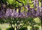 紫藤花的种植方法和移栽