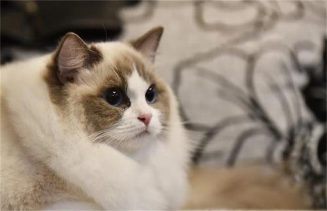 布偶猫饲养方法及注意事项