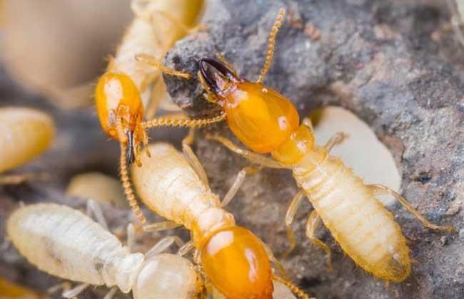 白蚁怎么消灭