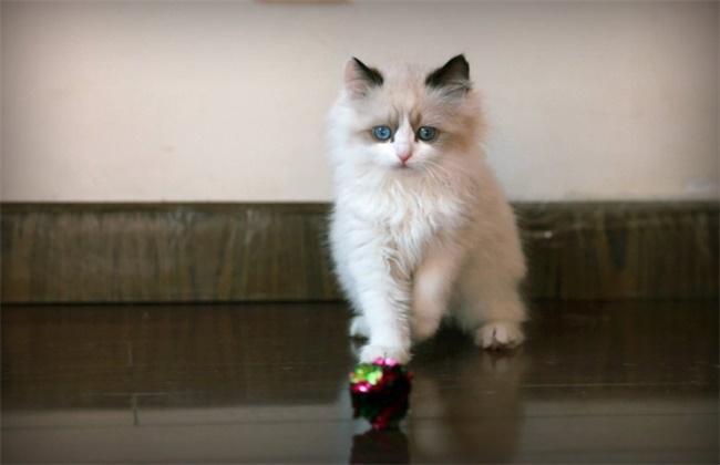 布偶猫价格为什么那么贵
