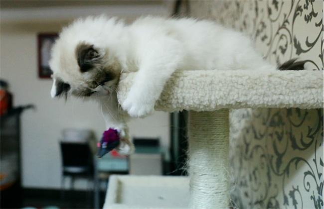 布偶猫品种