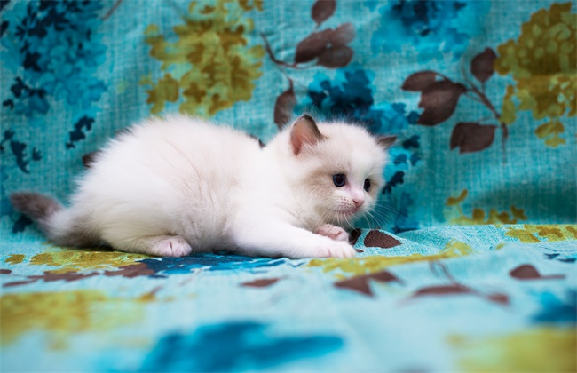 布偶猫繁殖