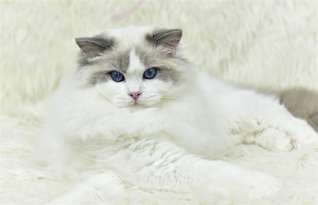 布偶猫性格