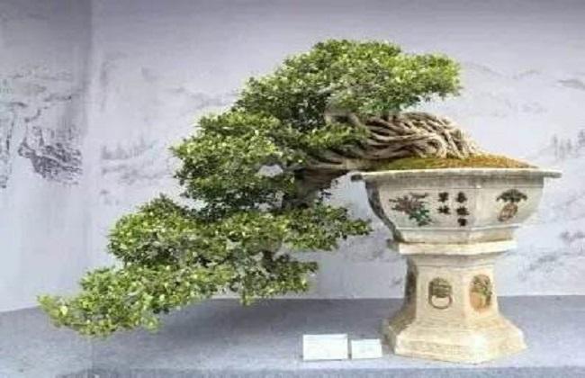 金枝玉叶盆景