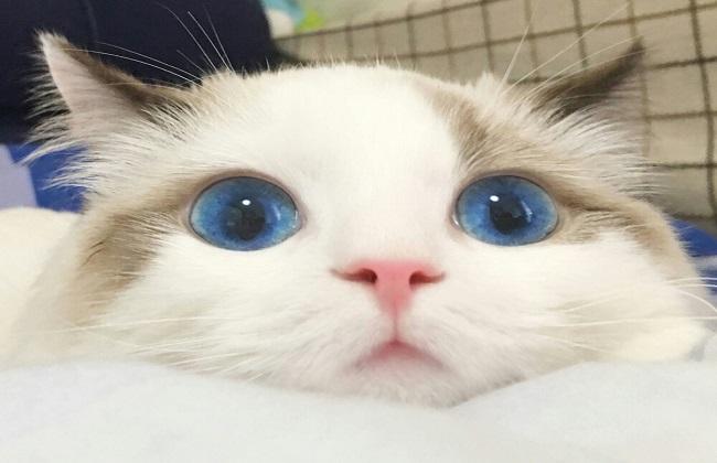 超级可爱的布偶猫图片鉴赏