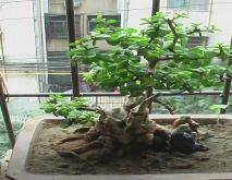 金枝玉叶盆景怎么做及造型图片参考