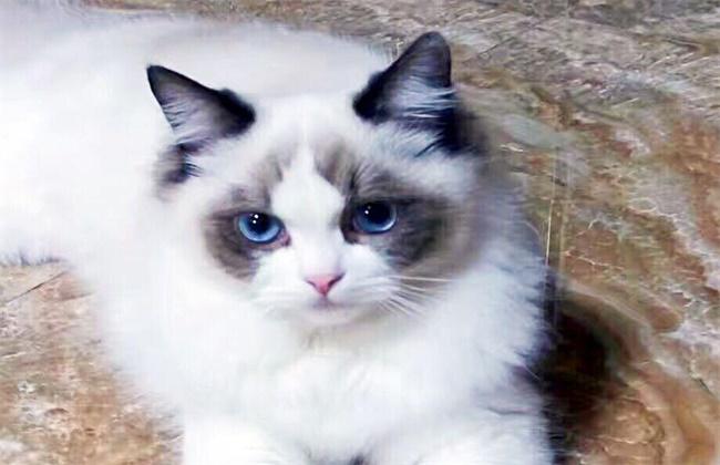 布偶猫和狸花猫的杂交图片