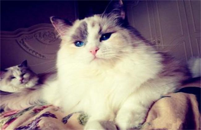 布偶猫多大可以绝育图片