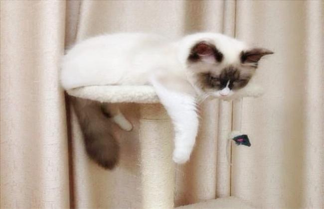 布偶猫绝育后会变乖吗图片