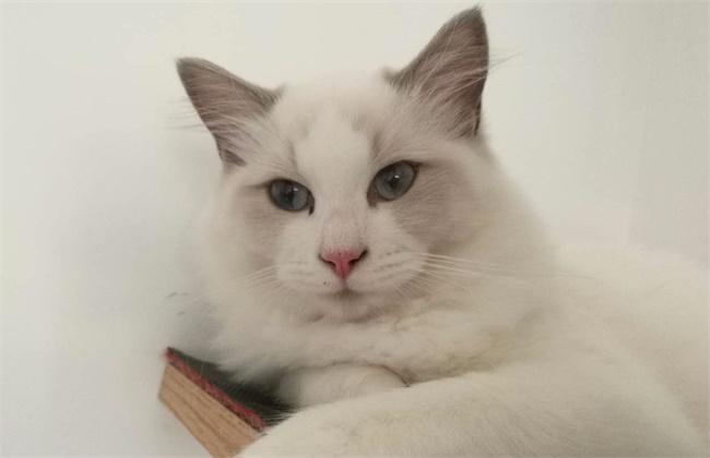 怎么买不绝育的布偶猫图片