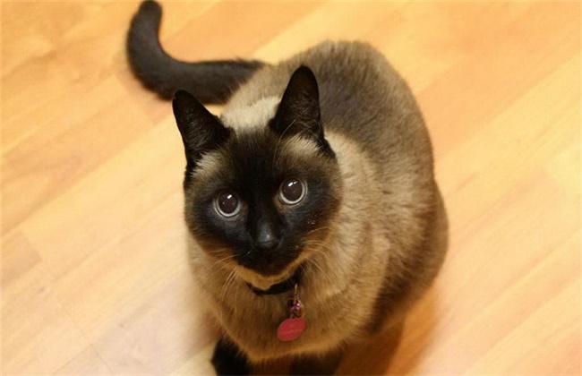 暹罗猫价格为什么这么便宜