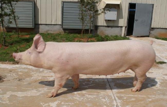 母猪怎么提高产奶量
