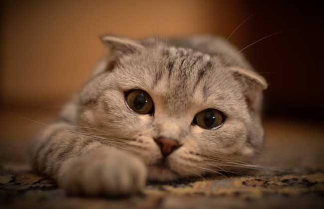 折耳猫有哪些遗传病