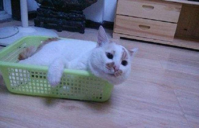 日本田园猫_日本田园猫的简介图片和价格-宠物饲养-黔农网
