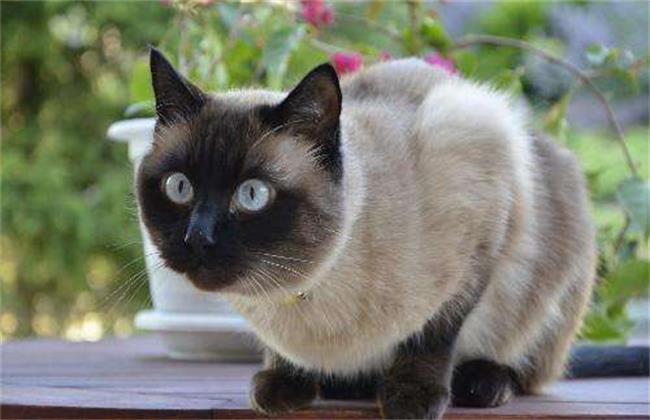 暹罗猫为什么这么臭