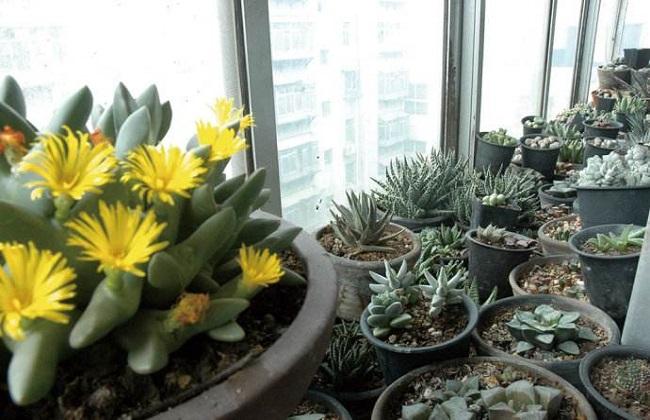 室内封闭式阳台怎么养多肉植物