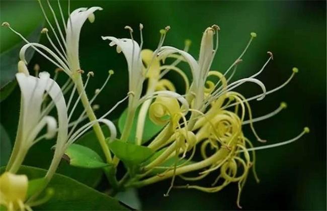 金银花有哪些品种分类