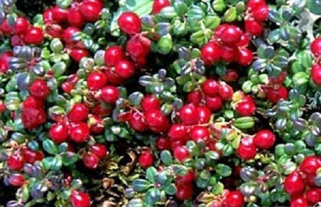 蔓越莓作用1