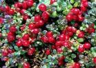 蔓越莓的功效与作用