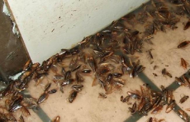 夏天家里蟑螂多怎么消灭