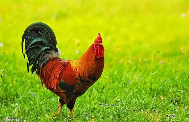 散养土鸡养殖时间
