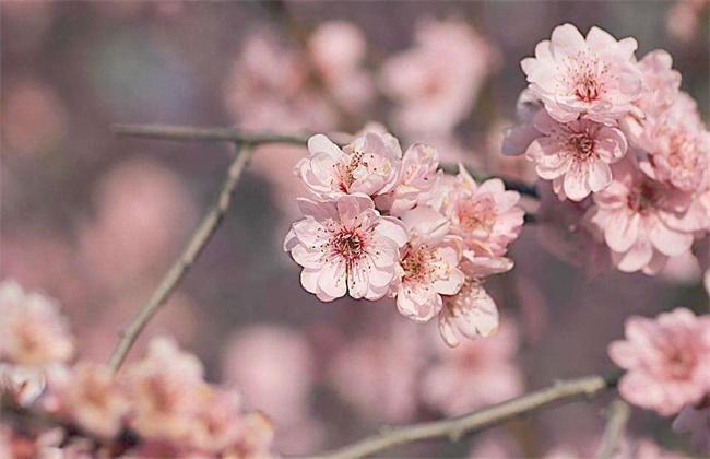 梅花和桃花的区别