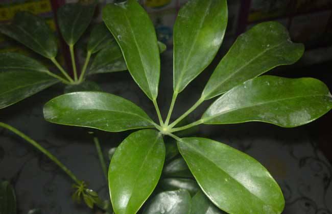 鹅掌木是发财树吗