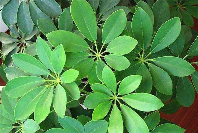 鹅掌木叶子黄是什么原因图片