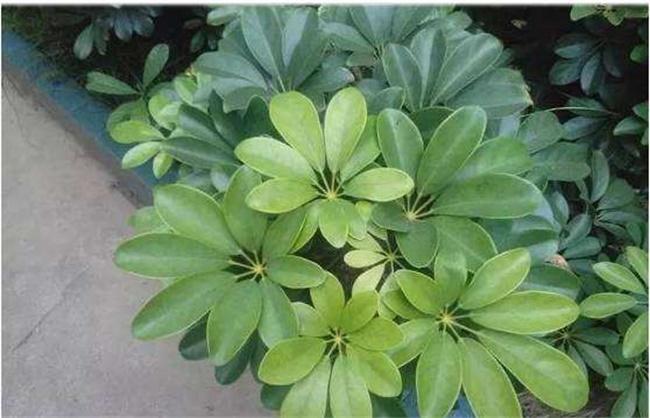鹅掌木长的新叶发黄图片