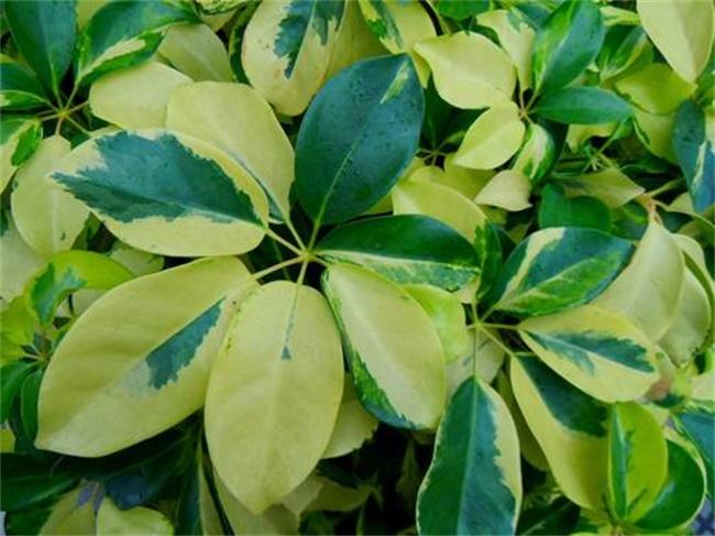 鹅掌木上叶发黄图片
