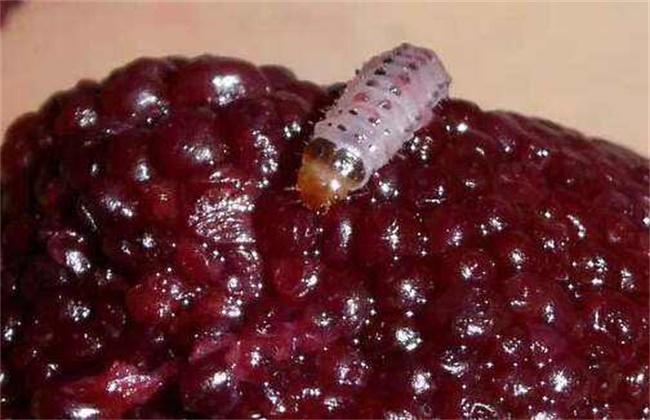 杨梅有虫子