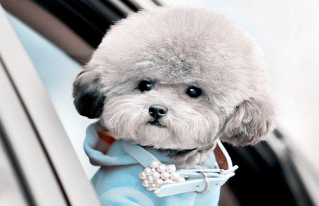 泰迪狗训练方法