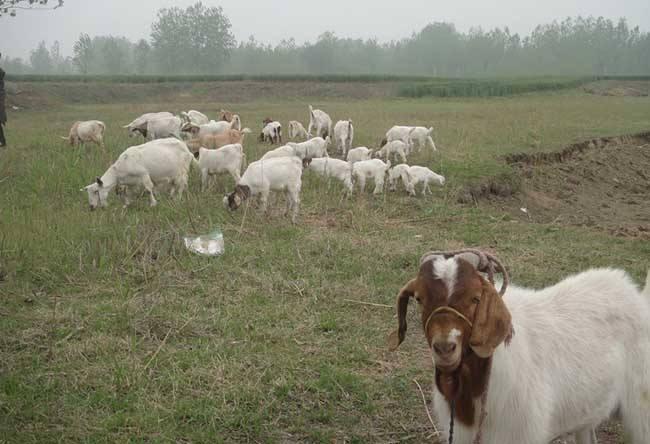 养羊的成本与利润