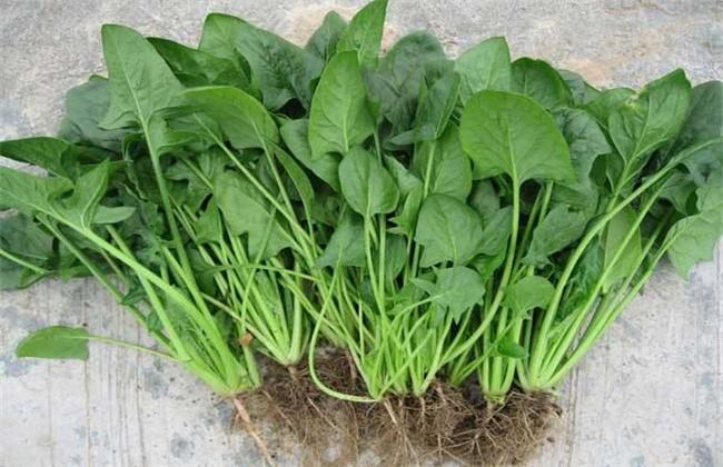 菠菜的种植时间和方法