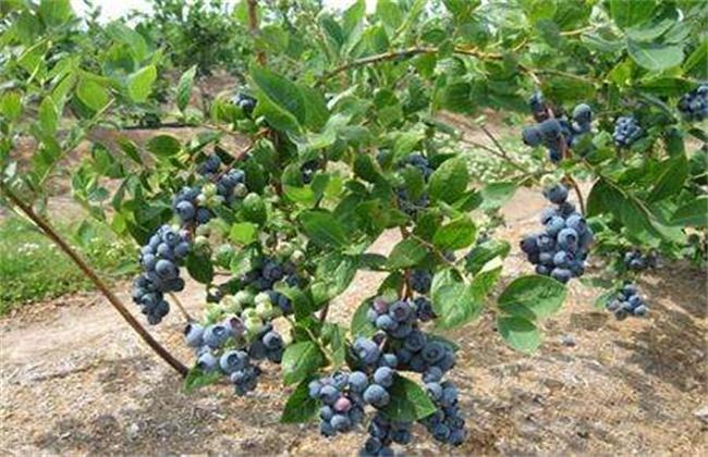 蓝莓每亩种植成本