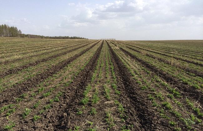 黄芪高产种植技术