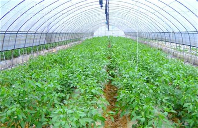 辣椒的种植方法和时间