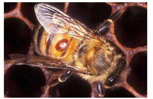 蜜蜂的常见病害种类及防治方法