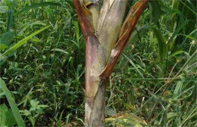 玉米常见病虫害及防治方法
