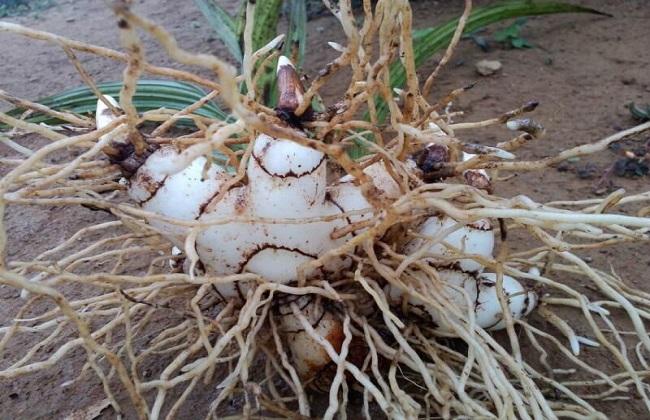 白芨种植技术方法图片