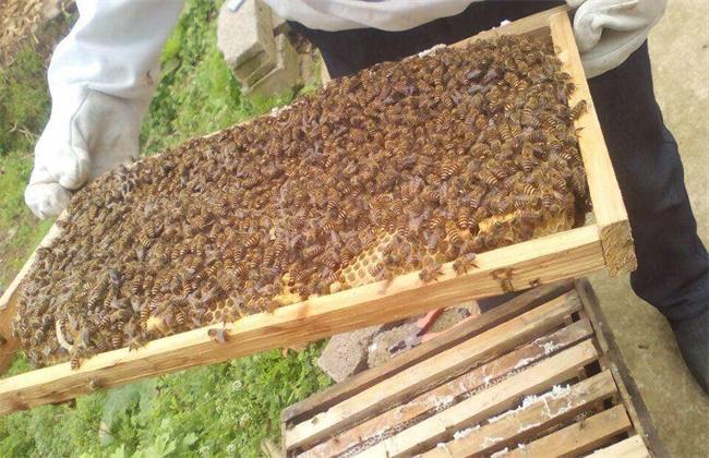 2018蜜蜂养殖前景和成本利润分析