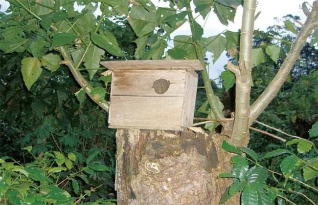 野蜜蜂怎么引诱回家养