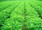花生种植防治田鼠的方法有哪些?