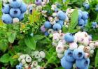 2018年蓝莓价格及种植前景