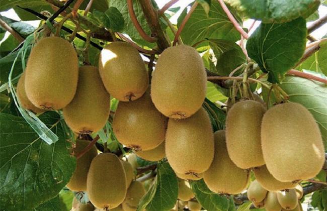 猕猴桃的种植技术