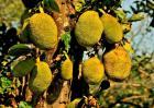2018菠萝蜜的价格及种植效益