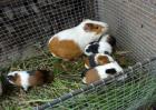 荷兰猪怎么养殖