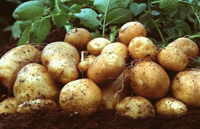 土豆的种植时间与方法